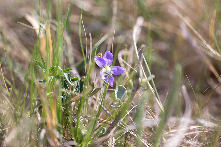 Crowfoot Violet